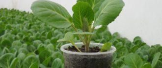 Как вырастить в домашних условиях здоровую и крепкую рассаду овощей