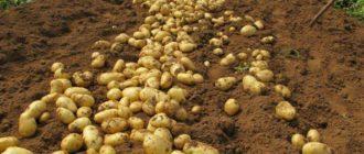 Технология выращивания и ухода за картофелем в домашних условиях