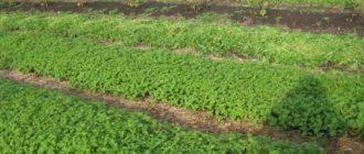 Чем засеять огород от сорняков