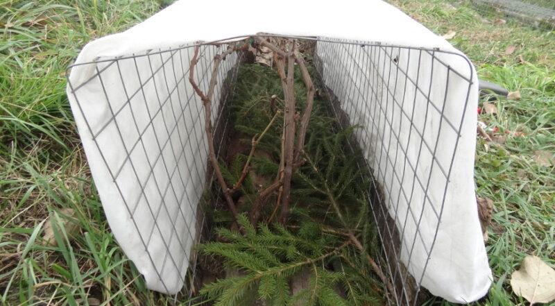 Как утеплить виноград на зиму