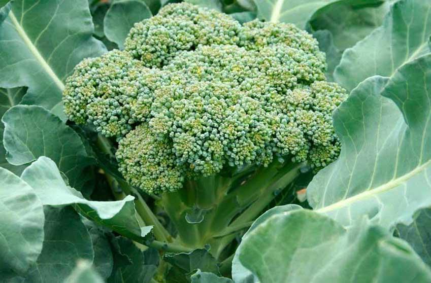 Как вырастить капусту брокколи в открытом грунте на даче