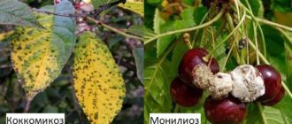 Монилиоз и коккомикоз вишни
