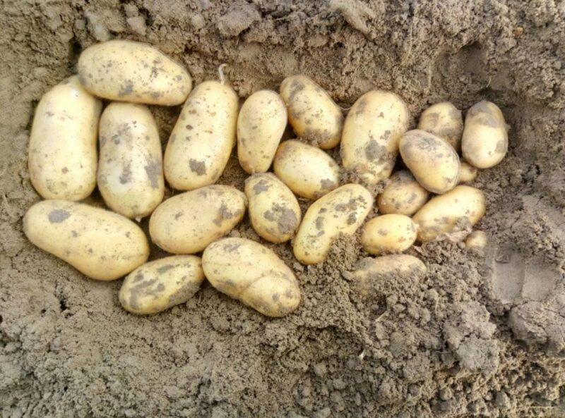 Сорта картофеля для северо-запада