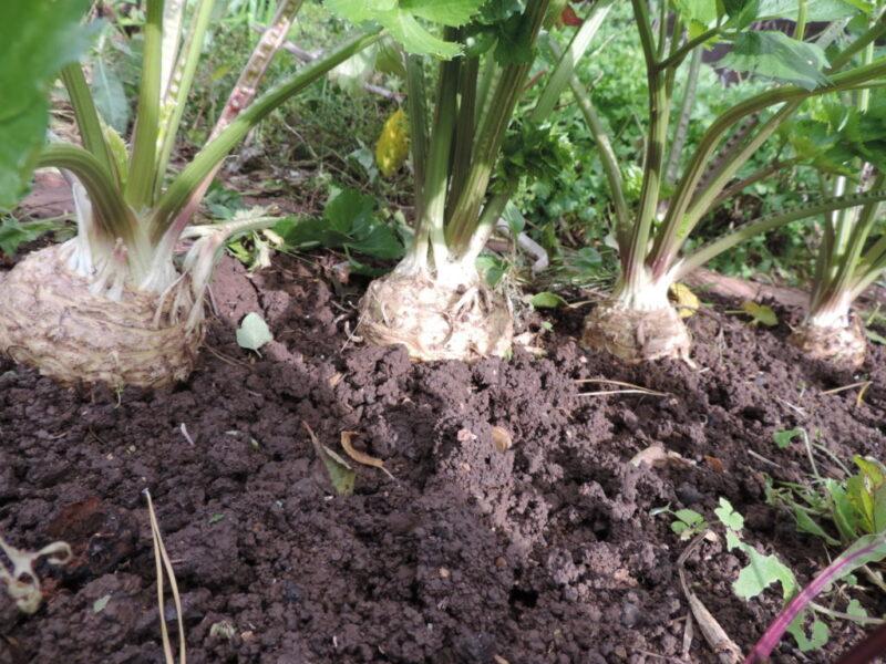 Сельдерей корневой посадка и уход в открытом грунте