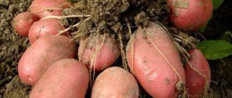 сорта раннего картофеля и правила посадки