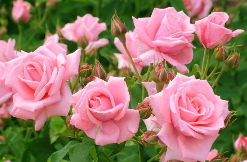Выращивание садовых роз на срезку