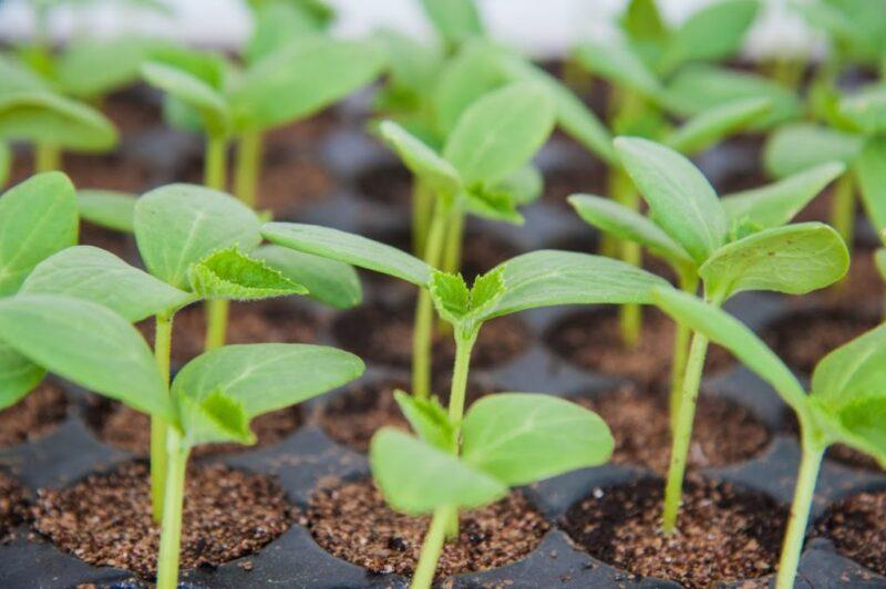 выращивания рассады овощных культур