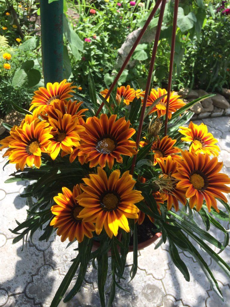 гацания фото цветов на клумбе