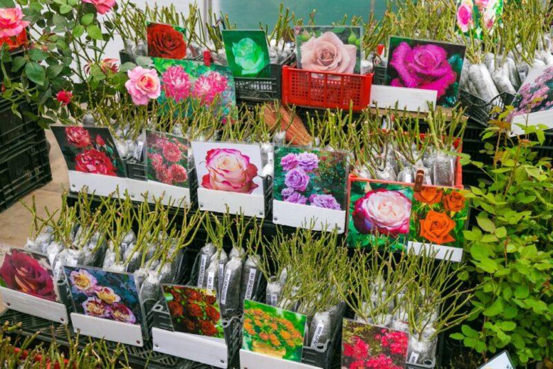 Как выбрать саженцы роз для посадки в открытый грунт