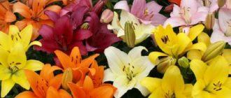 Лилии - посадка и уход в открытом грунте, фото и описание лилий