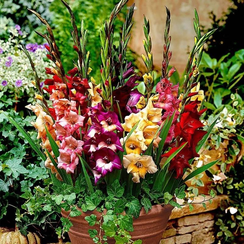 Выращивание гладиолусов в горшках, бочках, ведрах и вазонах