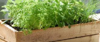 Выращивания пряных трав в садовых горшках