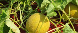 Как вырастить дыню из семян